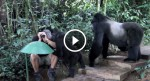 He's taking photos when these Gorillas suddenly surround him. I never expected THIS to happen!