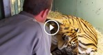 Tiger Mother gave birth to a kitten, but WATCH what happens when zoo keepers see THIS…