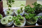 STOP TRASHING YOUR SCRAPS: 16 PRODUCE ITEMS TO RE-GROW AT HOME