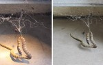 Giant Redback Spider Catches A Snake… The End Is Horrifying (Video)