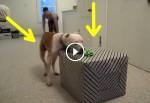 This Cancer-Free Pit Bull Opens His Birthday Gift And His Reaction Is The Absolute Best