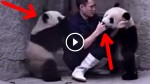 He Tries To Feed Medicine To Pandas, What Happens Next Is Completely Adorable