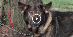 This Dog Was Chained To A Tree For Most Of Its Life. Watch What These People Do About It.