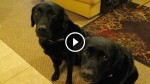 One of These Two Adorable Labs Stole The Cookie off The Counter, But Wait To See How Mom Revealed The Offender! Hilarious!