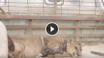Heartbreaking Rescue of A Mountain Lion Who Lived for 20 Years Chained in The Back of A Pick-Up Truck!