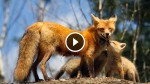 A Red Fox Mother And Her Three Baby Kits Caught in One of The Cutest Moments Ever! Amazing!