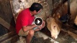 This Bull Was Chained Through His Entire Life. Now Watch When They Set Him Free For The First Time!