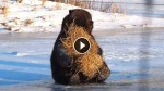 This Bear Found A Hay Bale, But Wait to See What It Does With It! Priceless!