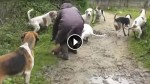 Woman Throws Herself In Front Of Snapping Hounds To Save A Desperate Fox Under Attack