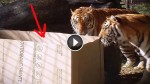 An Empty Box Is Placed Inside A Tiger Enclosure. Look At What They Do With It
