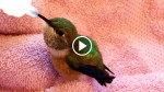 Man Rescues A Helpless Hummingbird. Now Watch When He Finally Gets Some Food… ADORABLE!