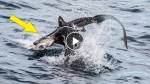 Watching this video of a sea lion eating a shark will leave your jaw on the ground