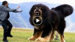 The biggest and strongest dogs in the world ever! I was shocked!