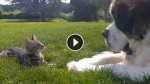 Big Dog Meets Tiny Kitten. The Most ADORABLE Reaction Ever!