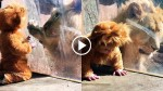 Baby Dressed as a Lion Cub Leaves The Real Thing Completely Confused