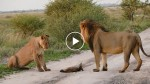 The lions spots a helpless fox. What happened second after is unbelievable!